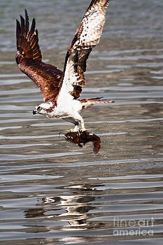 Michael McStamp - Osprey