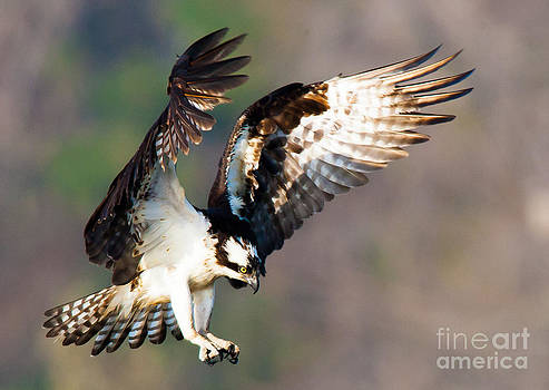 Osprey by Ursula Lawrence