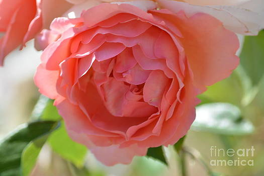 Peach Rose by P S