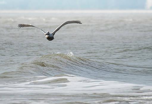 Pelican in Flight by Bill LITTELL