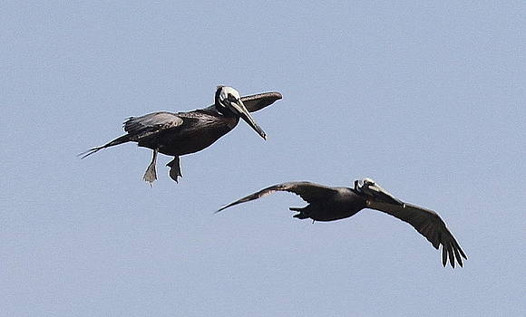 Pelicans in Flight 2 by Cathy Lindsey