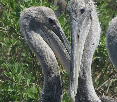 Pelicans of Beacon Island by Cathy Lindsey