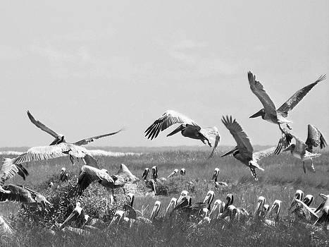 Pelicans by Thomas Leon