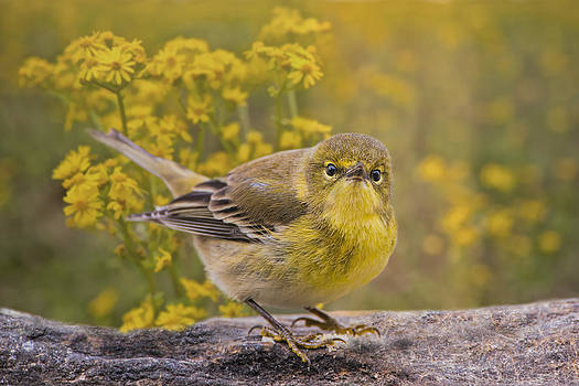 Pine Warbler by Bonnie Barry