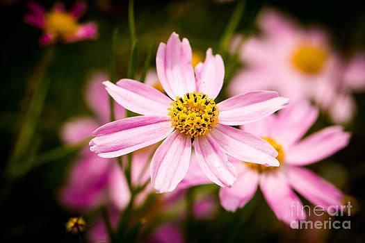 Alexander Butler - Pink Coneflowers