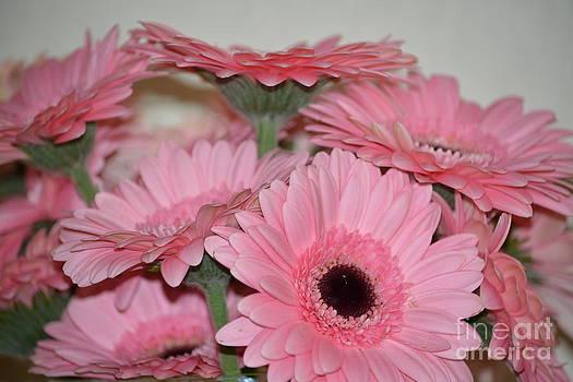 Pink Gerbera Flowers by P S