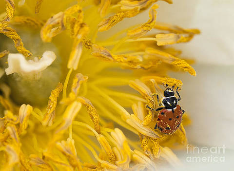 Pollen Covered Ladybug Inside a White Flower by Brandon Alms