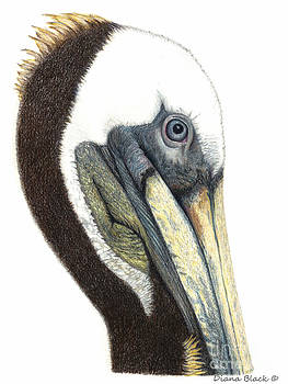 Portrait Of A Pelican by Diana Black