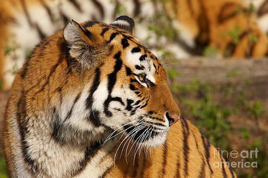 Nick  Biemans - Portrait of a Siberian tiger