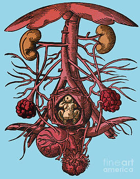 Science Source - Pregnancy 16th Century Artwork