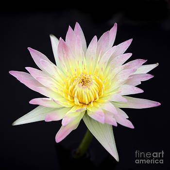 Sabrina L Ryan - Pretty Pink and Yellow Water Lily