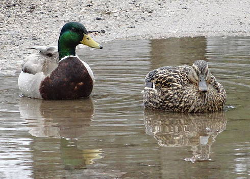 Puddle Ducks by Kathleen Luther