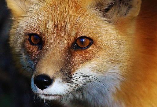 Paulette Thomas - Red Fox