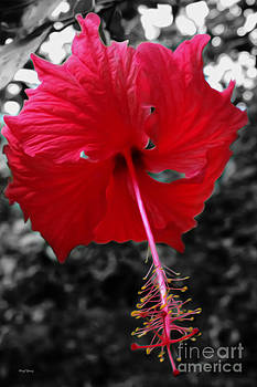 Cheryl Young - Red Hibiscus