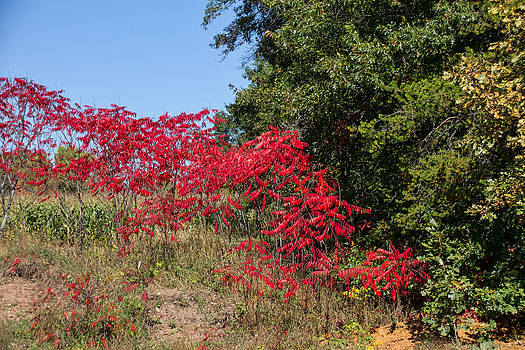 Red Sumac by Wayne Stabnaw