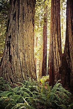Scott Pellegrin - Redwoods