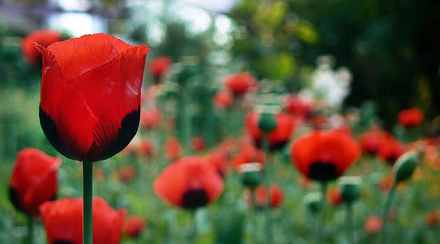Tia Marie McDermid - Romantic Poppies