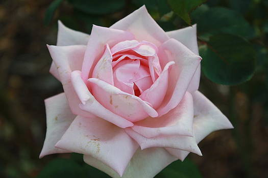 Rose by James Lawson