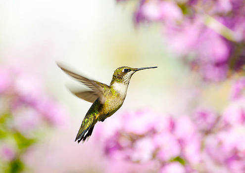Ruby Throated Hummingbird. by Kelly Nelson