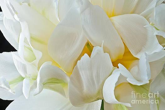 Ruffled White Tulip by Art Barker