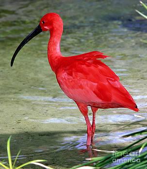 Millard H Sharp - Scarlet Ibis