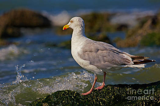 Nick  Biemans - Seagull on a rock