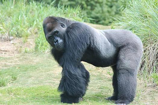 Paulette Thomas - Silverback Gorilla