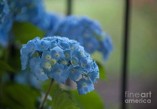 Mike Reid - Soft Blue Hydrangea