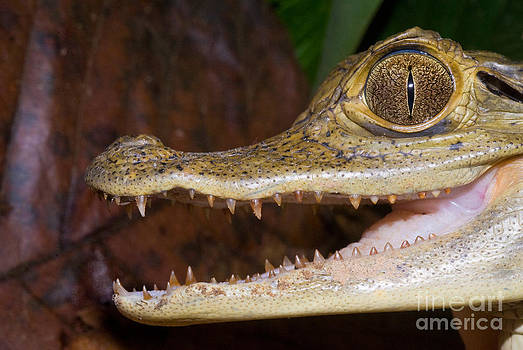William H. Mullins - Spectacled Caiman Head