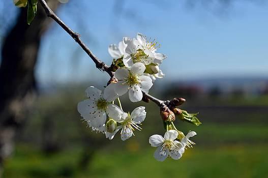 Spring by Ignatescu Isabela
