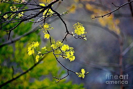Spring Leaves by Jay Nodianos