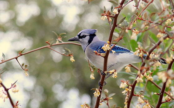 Rosanne Jordan - Springtime Blue Jay