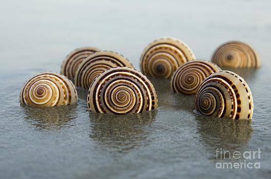 Sundial seashells by Cynthia Holling-Morris