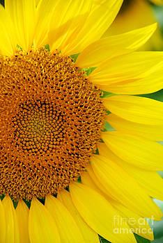 Mark Dodd - Sunflower Petals