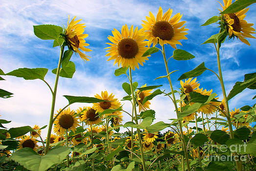 Mark Dodd - Sunflowers