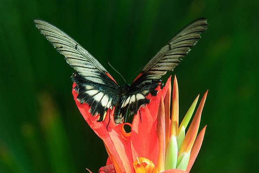 Tam Ryan - Swallowtail