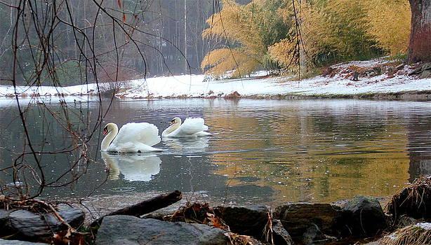 Swans in Winter by Chris Burke