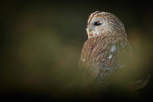 Tawny Owl by Andy Astbury