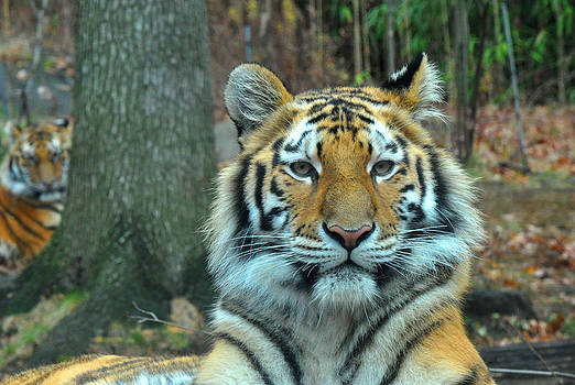 Tiger Bronx Zoo by Diane Lent