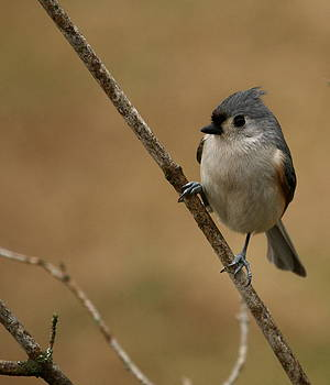 Tufted Titmouse by Jim Johnson