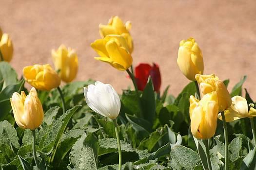 Tulips by Brad Fuller