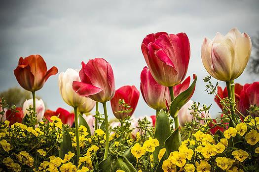 Tulips by Elizabeth Wilson