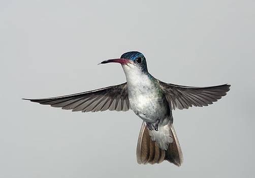 Gregory Scott - Violet-Crowned Hummingbird