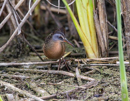 Virginia Rail by Doug Lloyd