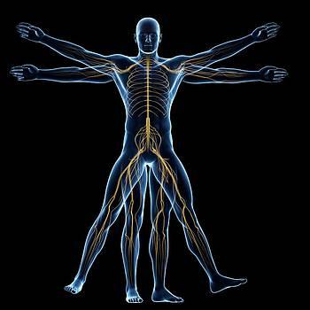 Vitruvian Man Nerves by Sebastian Kaulitzki