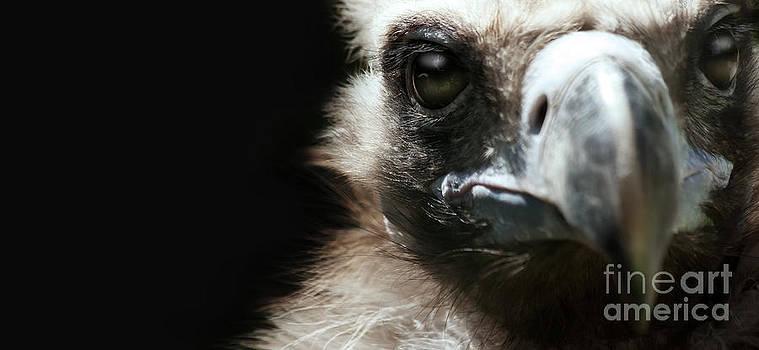 Vulture by Christine Sponchia