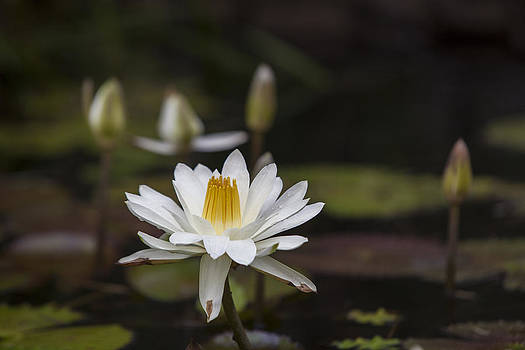 Water Lilly 6 by Charles Warren