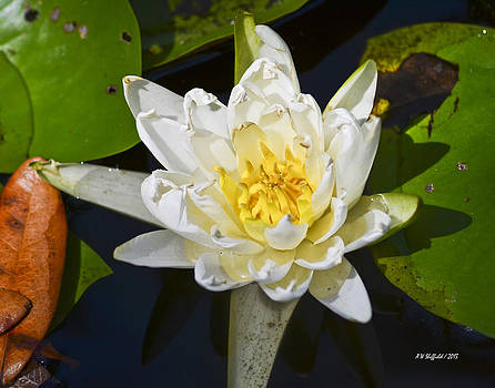 Allen Sheffield - Water Lily Bloom