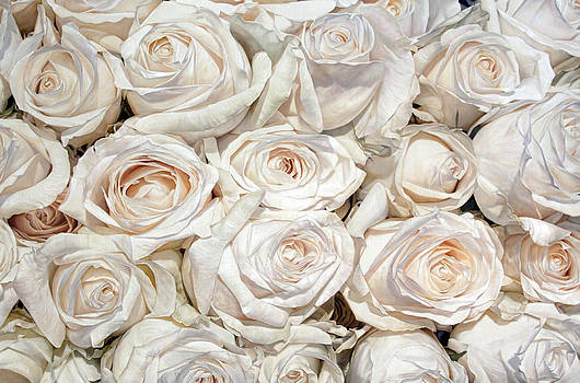 White Cream Roses by Thomas Darnell