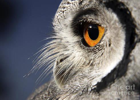 Linda Wright - White-faced Scops Owl Eye